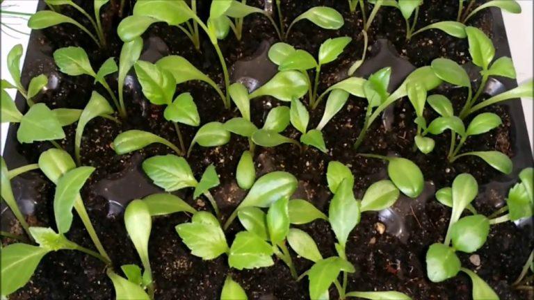 Выращивание георгинов из семян 584
