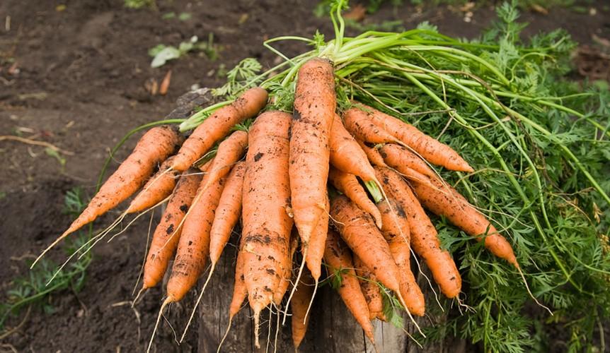 Когда сажать морковь на зиму на кубани 67