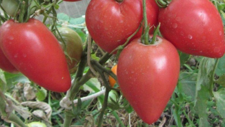 Томаты чудо земли выращивание отзывы 99