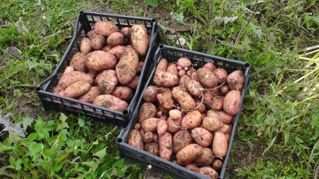 Выращивание картофеля на соломе без перекопки 63