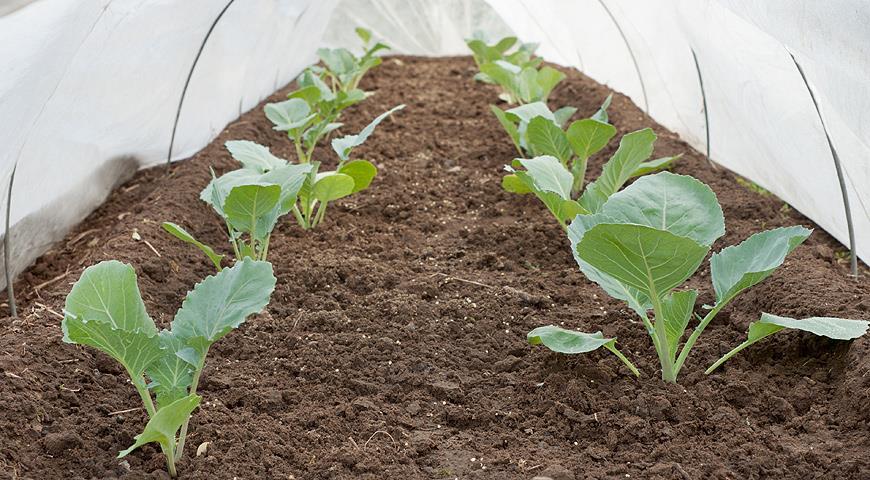 Выращивание капуста для семян 937