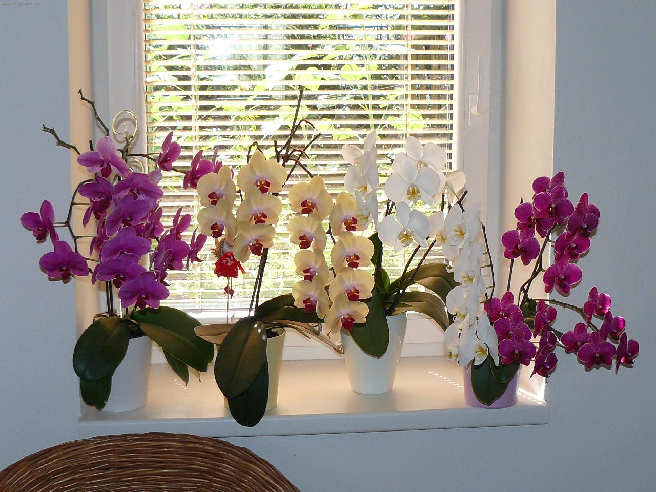 Орхидеи домашние в горшке. Уход в домашних условиях 77