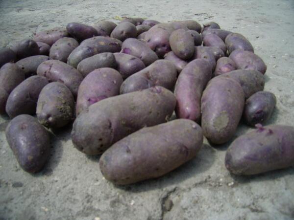 Самый вкусный сорт картофеля Вырасти сад!