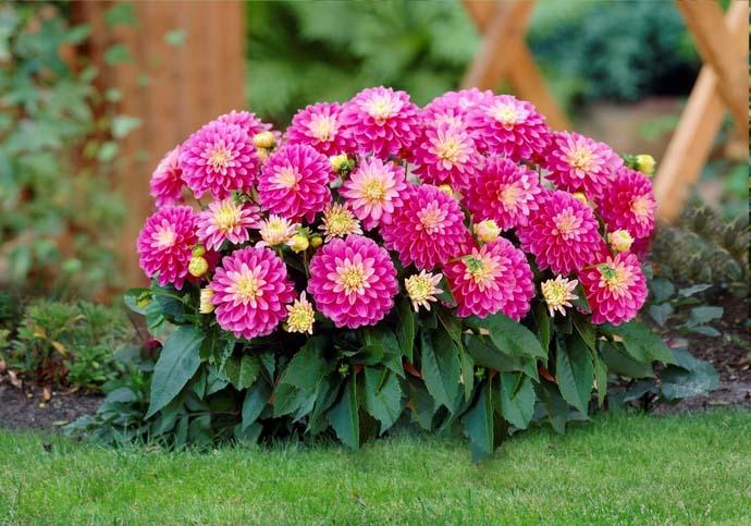 Какие бывают георгины: разновидности цветов георгин с фото и
