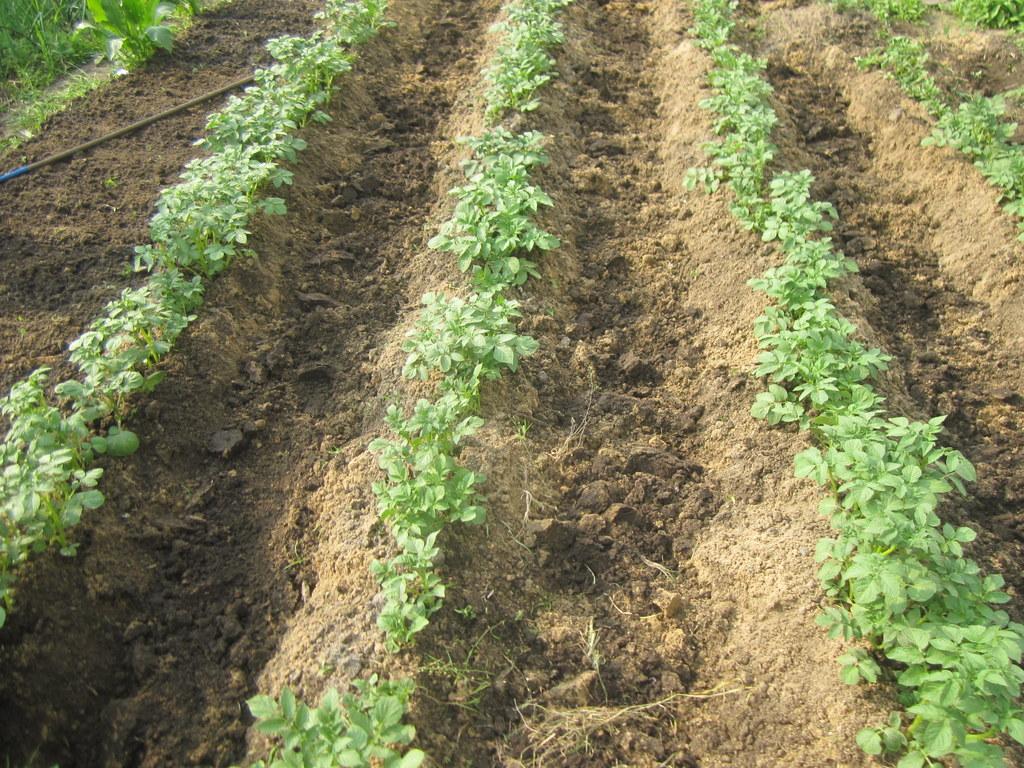 Выращивание картофеля с умом без прополки и окучивания 10