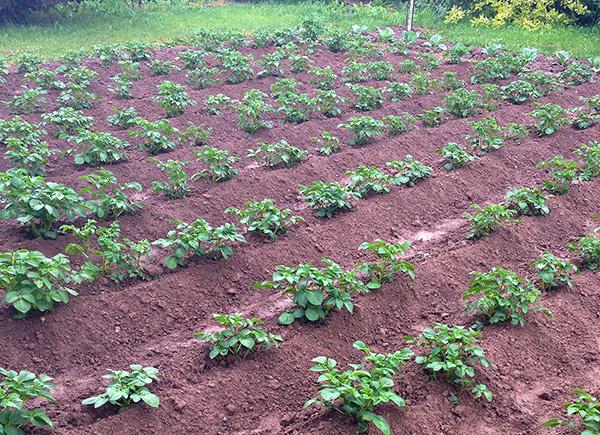 Как сажать клубнику картофель 980