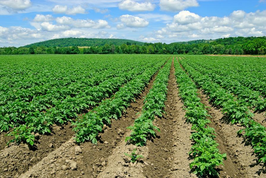 Выращивание картофеля в промышленных масштабах бизнес 43
