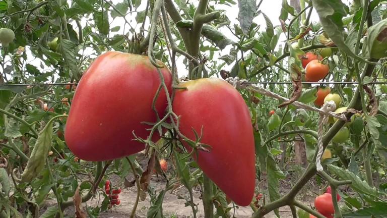 Томаты чудо земли выращивание отзывы 82