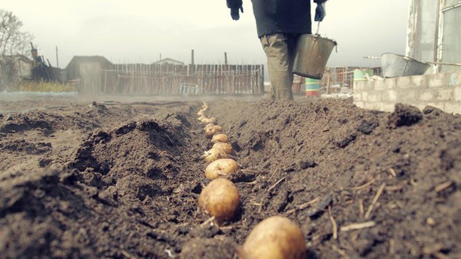 Выращивание картофеля на участке