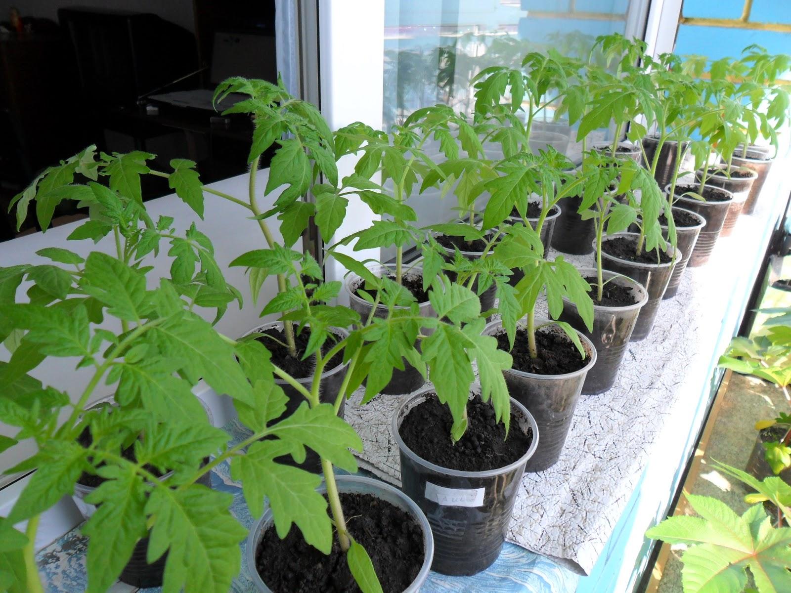 Когда нужно сеять помидоры на рассаду - сроки посева семя взависимости 60