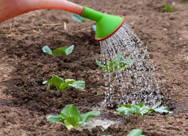 Как правильно сажать капусту в открытый грунт 90