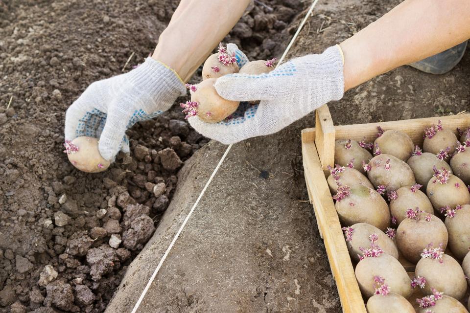 Можно ли сажать картофель в 2