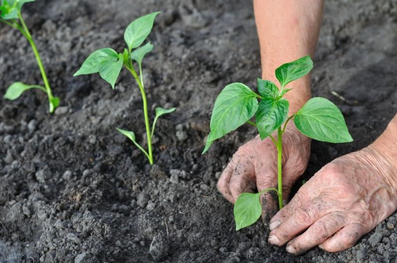Уход за рассадой в грунте