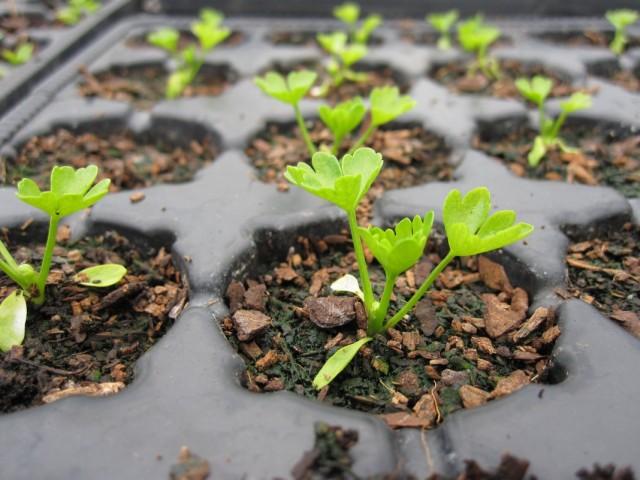 Как сажать семена сельдерея 45
