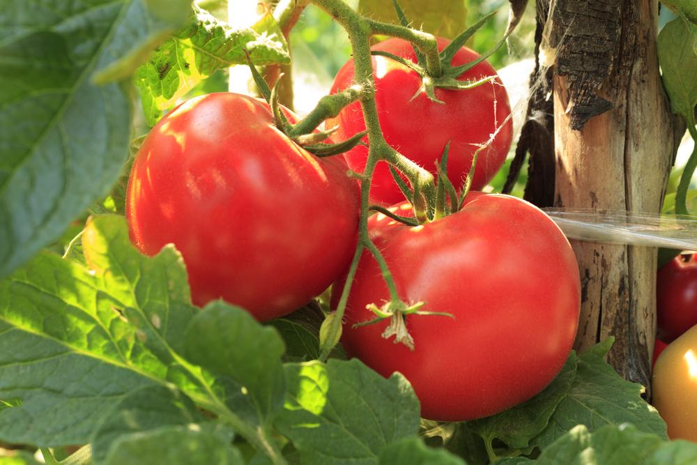 Помидоры парадайз выращивание 96