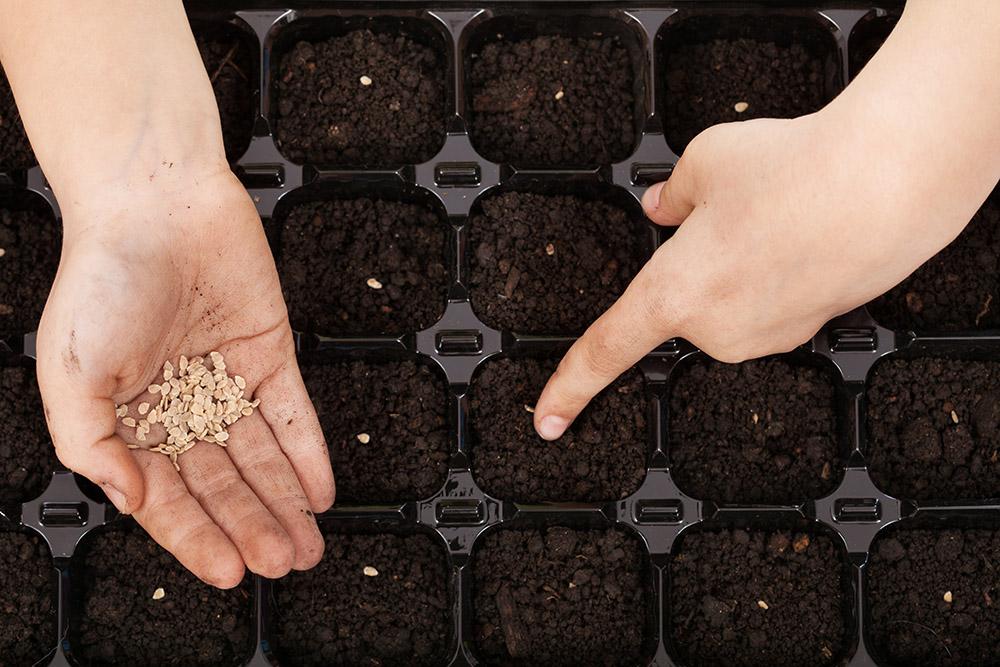 Как заготовить семена помидор для рассады в 428