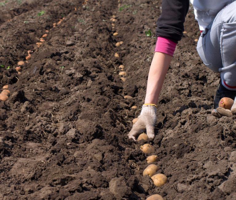 Когда сажать картофель в 2018г 58