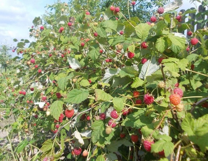 Малина геракл выращивание и уход 48