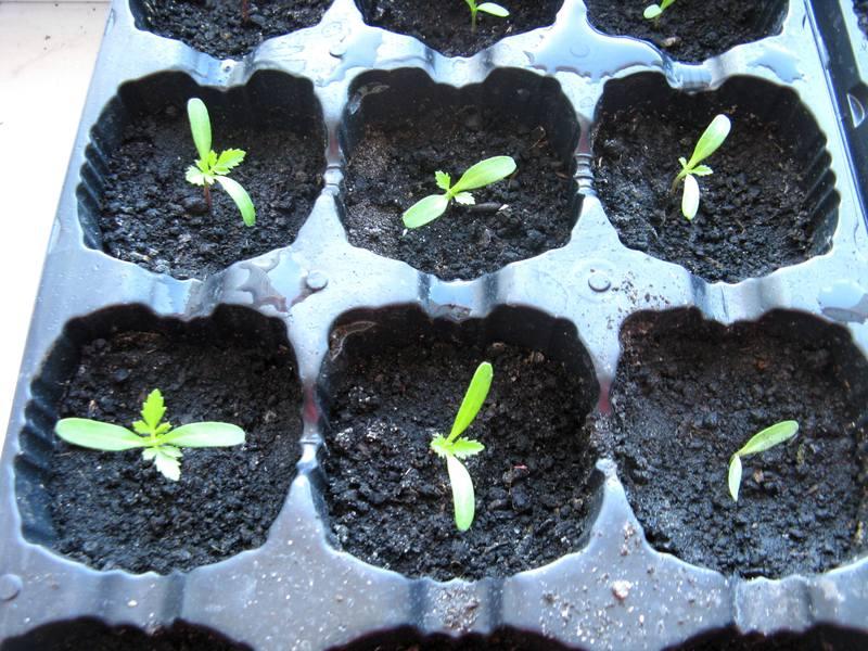 Бархатцы выращивание из семян когда сажать на рассаду в стаканчики 96