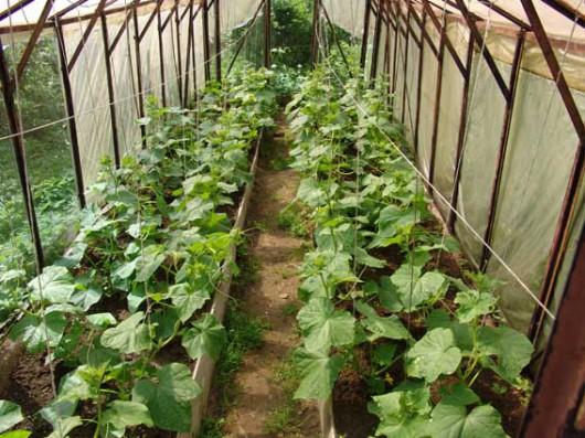 Выращивания огурцов на украине 319