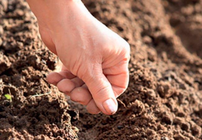 Как сажать морковь в открытый грунт семенами 323