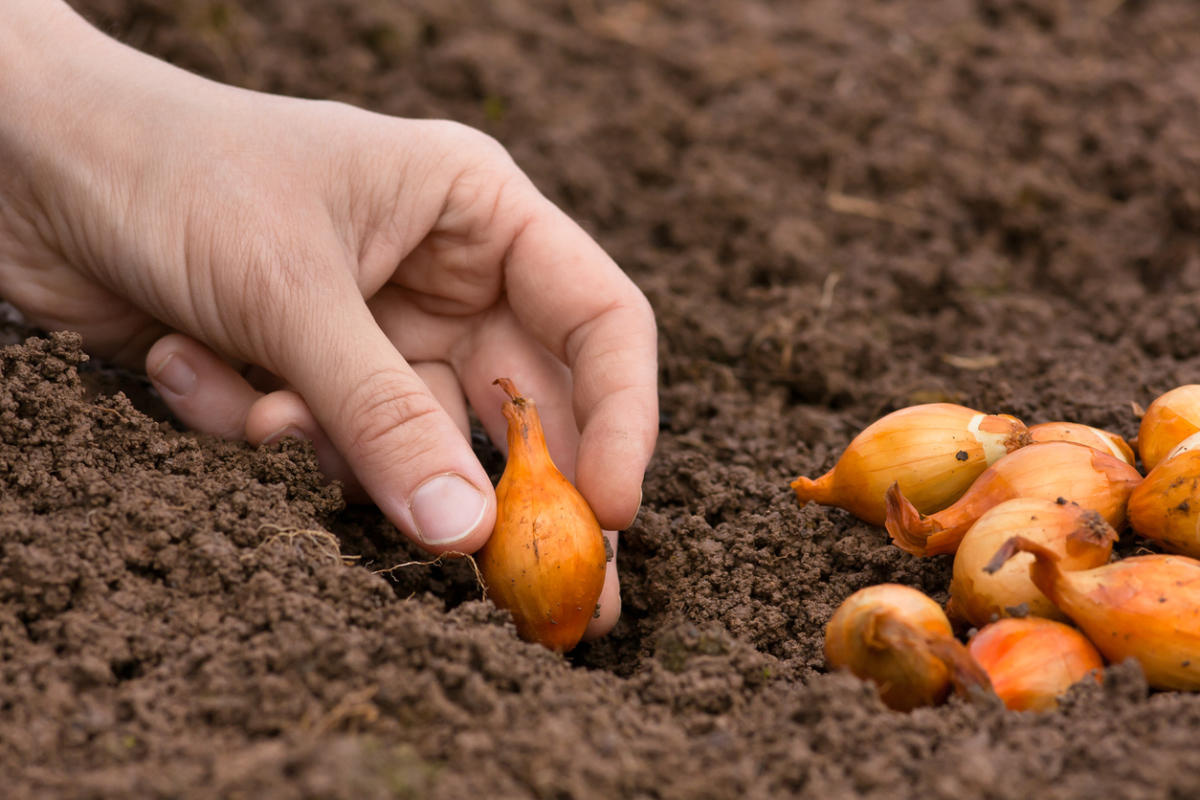 Когда сажать в грунт лук севок 654