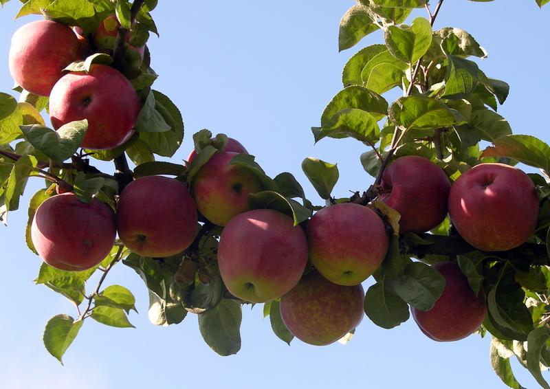 Яблоня подарок садоводу 48