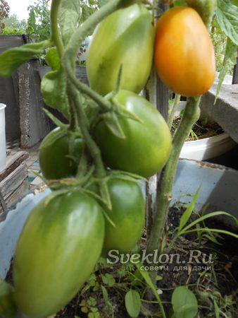 томаты созревают на ветке