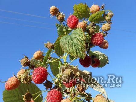 ветка с ягодами малины