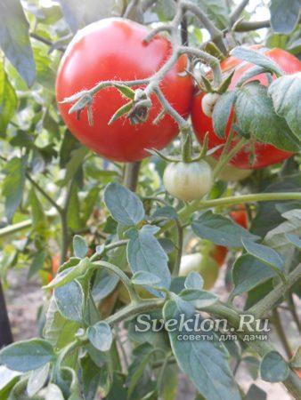 формирование кисти томатного куста