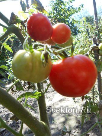 красные и зеленые помидоры