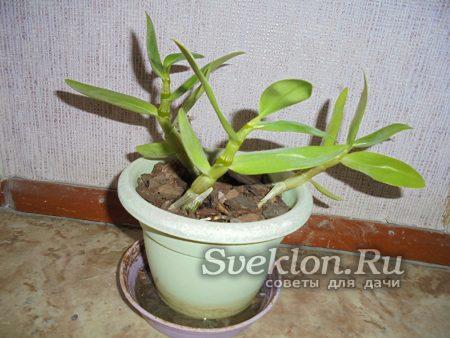 зеленые стебли орхидеи
