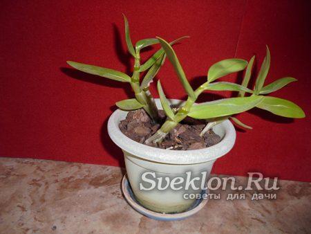 зеленый стебли орхидеи