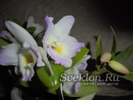 цветущая орхидея в горшочке