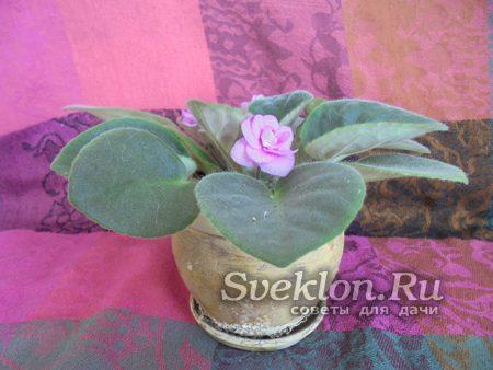Выращивание узамбарской фиалки в домашних условиях
