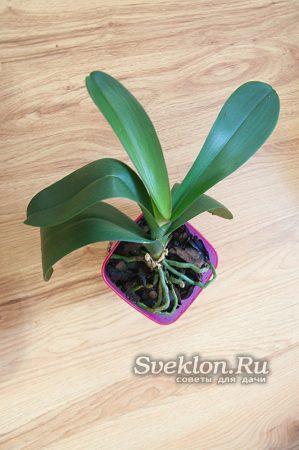 полить орхидею методом пролива