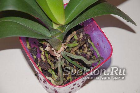 далее аккуратно располагаем корни орхидеи в горшке