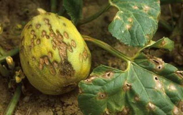 Каким болезням подвержена дыня и как с ними бороться