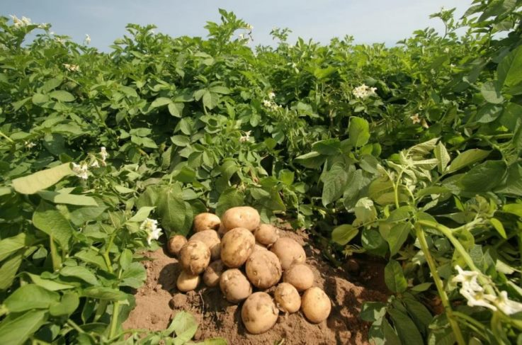 Как бороться с фитофторой на картофеле обработка
