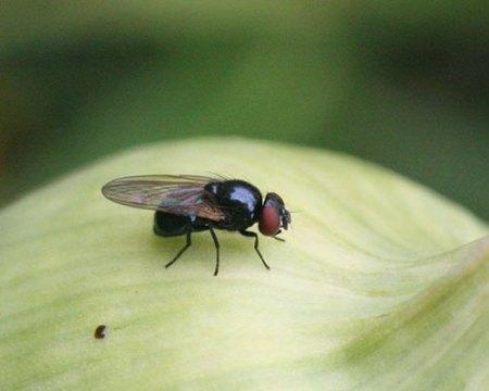 Луковая муха: как с ней бороться народными средствами и чем обработать, фото
