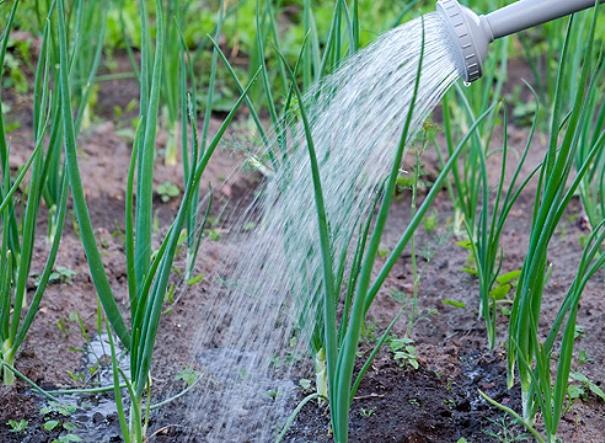 Как поливать лук в открытом грунте и когда прекращать полив