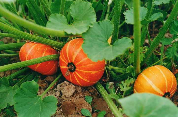 Декоративная тыква описание сортов выращивание и применение с фото