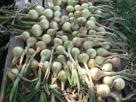 Лук репка выращивание из севка подкормка посадка