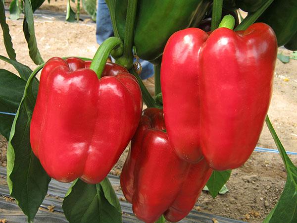 Разновидности перца Красный Гигант - отзывы и особенности. Жми!