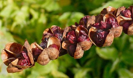 Как сохранить луковицы монтбреции до весны