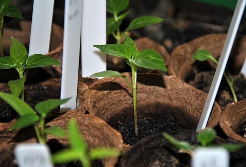 семена проросли но высаживать рано является эффективным