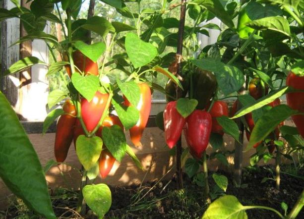 Почему не растут перцы в теплице открытом грунте после высадки и что нужно делать
