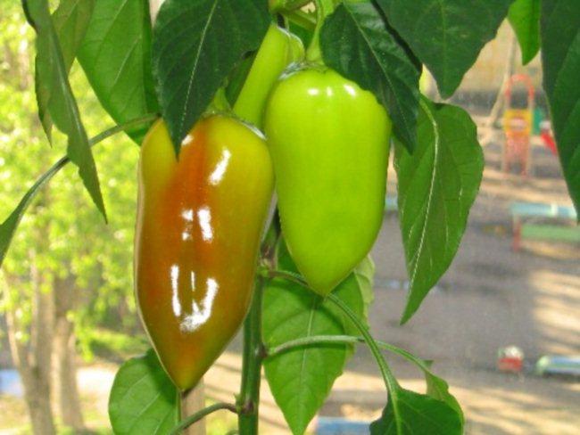 Как вырастить болгарский перец в домашних условиях: посадка .