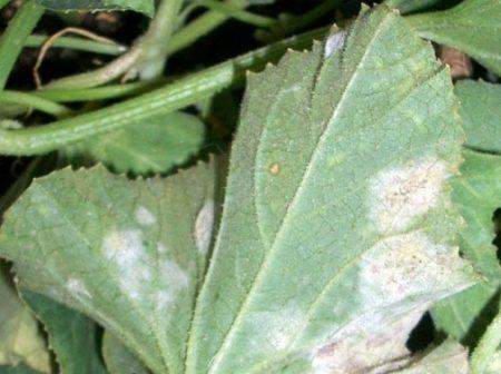 Дыня Алтайская: описание сорта, отзывы, способы выращивания