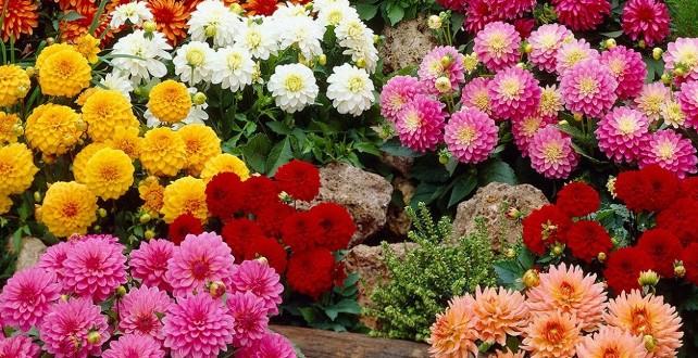 Луковицы георгин геллери (весенние) купить в интернет-магазине Садовый Мир